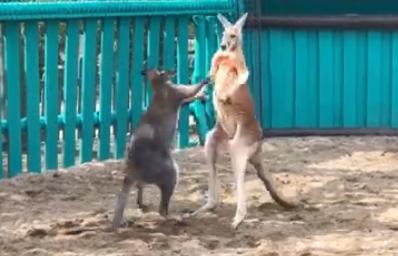 В сети появилось видео безобидной драки двух кенгуру в зоопарке запорожского курорта