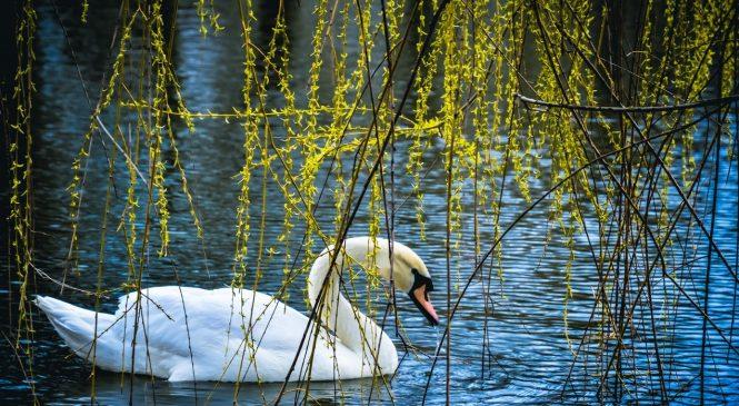 На озеро в запорожской Дубовке выпустили несколько белоснежных лебедей (Фото)