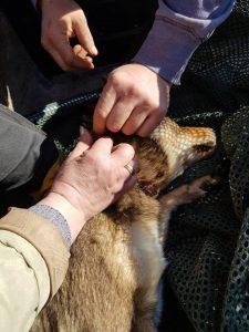В Запорожской области из-за действий браконьеров страдают собаки (Видео)