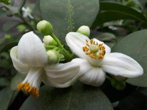 Цитрусовод из Запорожской области поделился снимками цветущего грейпфрута, японского мандарина и мексиканского яблока