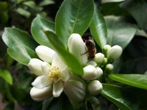Фотофакт: владелец лимонария в Запорожской области поделился снимками цветения цитрусовых